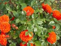 ruze_puzavice_orange_meillandina_005