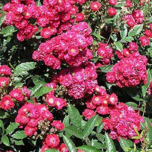 mini ruže alberich