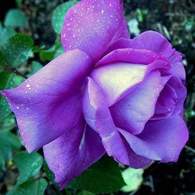 ruže polijante deutche welle