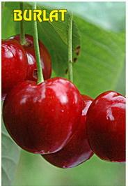 Sadnice trešnje Burlat
