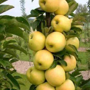 djerdan stubasta jabuka