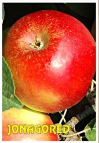 sadnice jabuke jonagored
