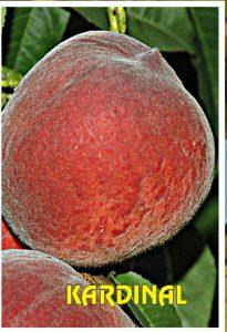sadnice breskve kardinal