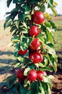 kraljica cardasa stubasta jabuka