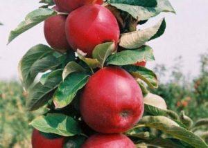 rumeno vreteno stubasta jabuka