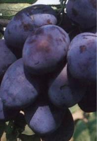 sadnice timočanke