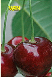 Sadnice trešnje Van