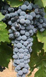 lozni alemovi vinske sorte caberne